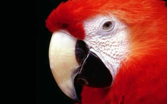 попугай, red, ara