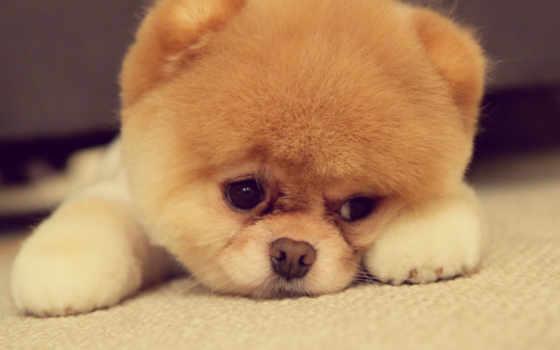 породы, cute, собака, собаки, little, собак, маленькие, уши, самые,