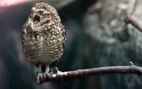 сова, zhivotnye, совы, sweetheart, милые, just, телефона, фоны, вызывает, птицы,