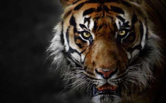 zhivotnye, тигр, ухмылка, анимация, природа, кот, новости, гиф, яndex, анимации, страница,