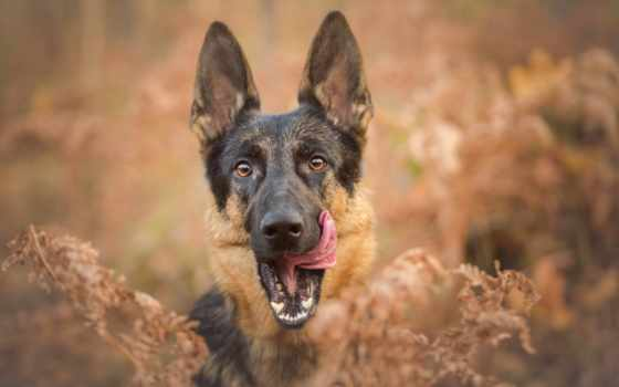 собаки, iphone, овчарка, собака, немецкая, овчарки, блокировки, взгляд, друг, щенки,