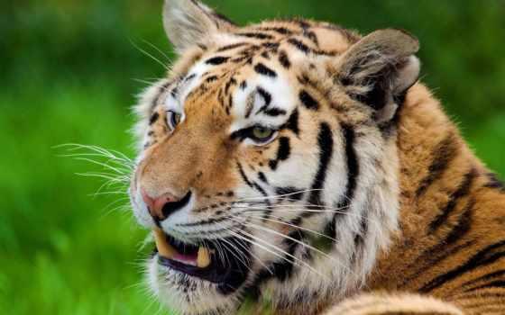 тигр, усы Фон № 19423 разрешение 1920x1200
