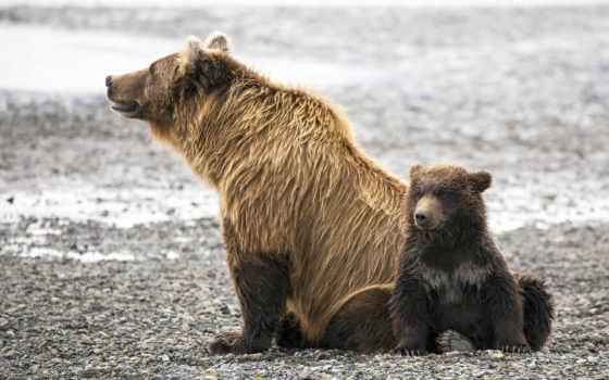 медвежонок, zhivotnye, медведи