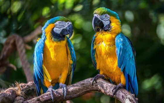 parrots, macaw, birds, пара, животные,