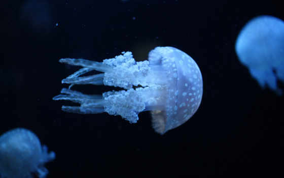 jellyfish, медузы, water