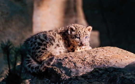 снег, леопард, ирбис, морда, zhivotnye, котенок,