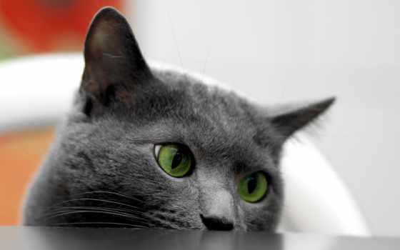 коты, черная, будут, zhivotnye, кот,