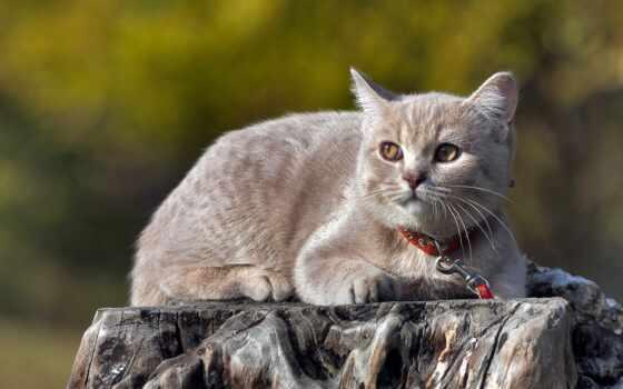кот, british, narrow, картинка, хороший