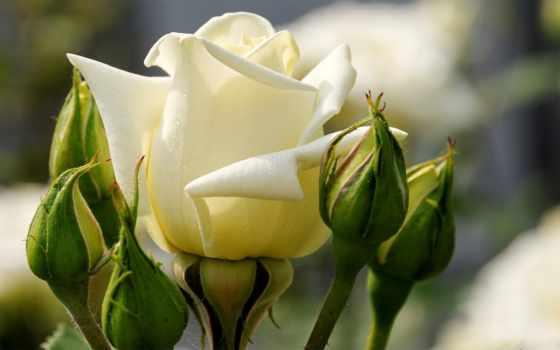 природа, цветы, ipad, розы, качестве, красивые, цветут, хорошем,