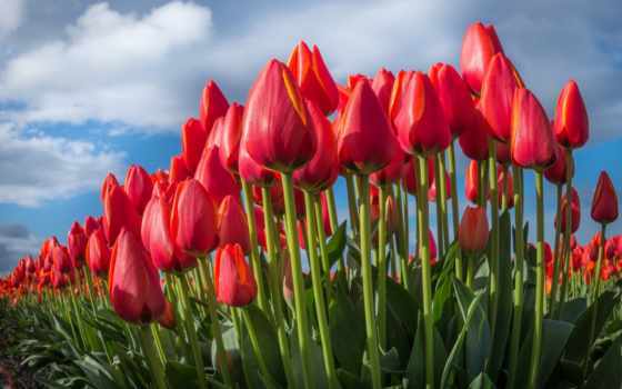 тюльпаны, цветы, tapety, прекрасные, zobacz, lale, tulipany, букет, gül,