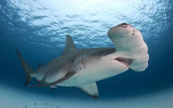 акула, hammerhead, тигр, galeocerdo, cuvier, гигант,