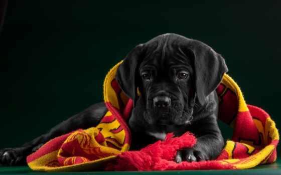 собака, corso, saturday, щенок, free, kan, красивый, kartinika