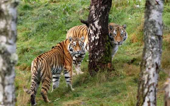 тигры, красивых Фон № 19448 разрешение 1920x1200