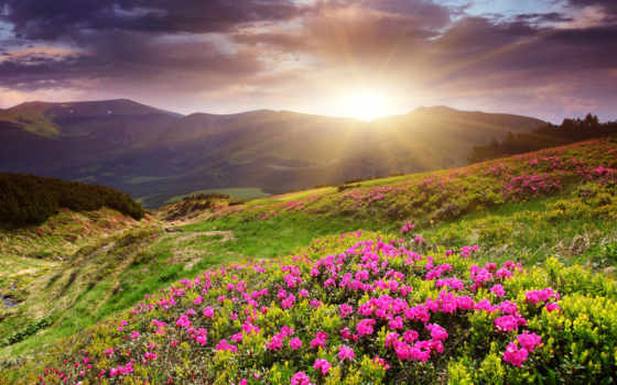 sunset, flower, field, desktop, download, flowers,
