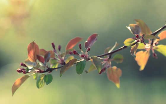 branch, яблони, apple