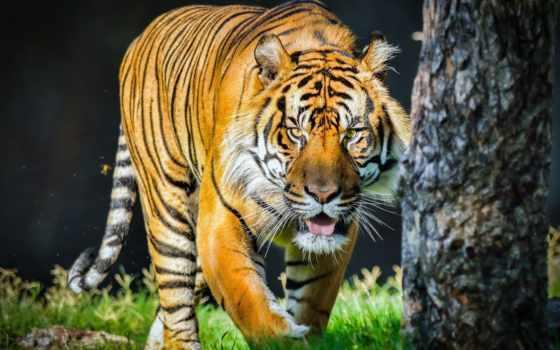 wild, тигр, глаза, tigers, art, кот, tongue, морда, язык,