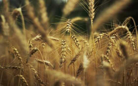 природа, пшеница,