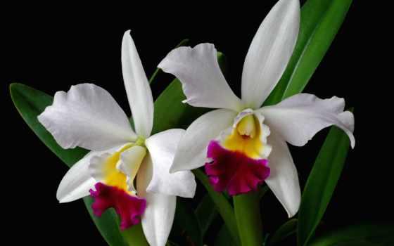 орхидея, цветы, свет, browse, бутон,