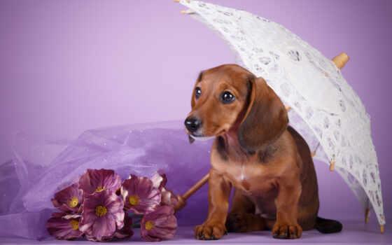 dachshund, собака, щенок, diamond, cute, purple, краска, фон, animal