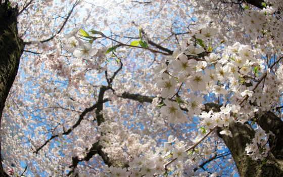 cherry, цветы, ветви, цветение, ветки, природа, sun, весна, стволы, Сакура,