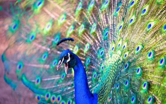 peacock, красавец, только, мужской, красив, настоящему, правда, где, распространен, пакистане, скромнее,