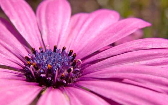 cvety, лепестки, макро, розовый, нектар, цветов, цветы, добавлено, обоях, ipad,