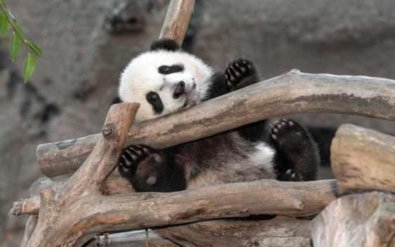 панда, няшка, пушистик, мишка, отдых,