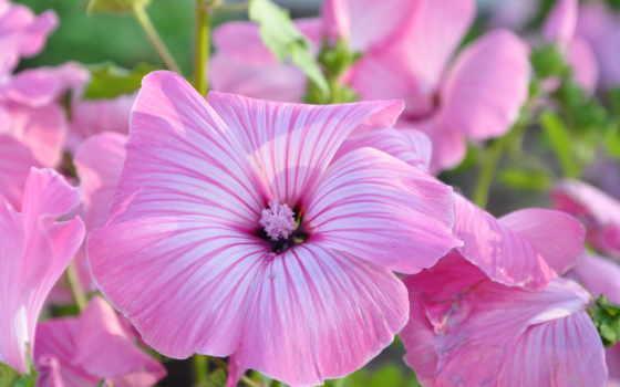 flowers, pretty, цветы, цвета, розовый, bloomed, растение,