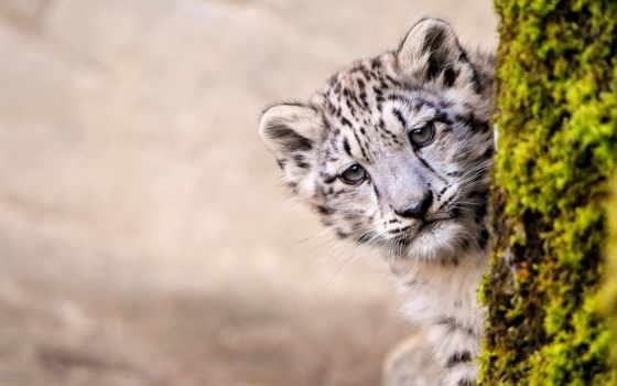 white, детёныш, леопард, дерева, тигр, zhivotnye, снег, за,