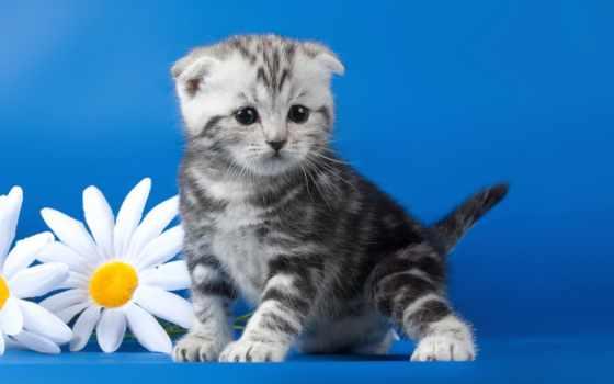 кошки, коты, ромашки, zhivotnye, котята, кот, zoom, картинку, cvety, вислоухий,