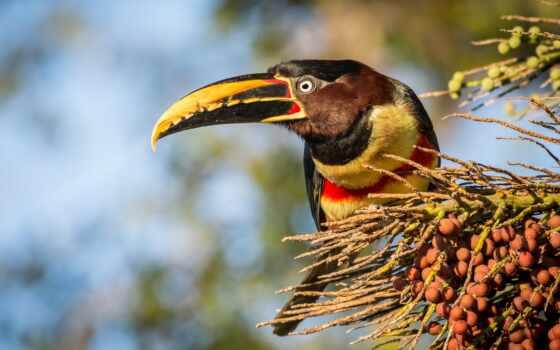 tukat, птица, ягода, toucan, free, свинья, branch, качественные