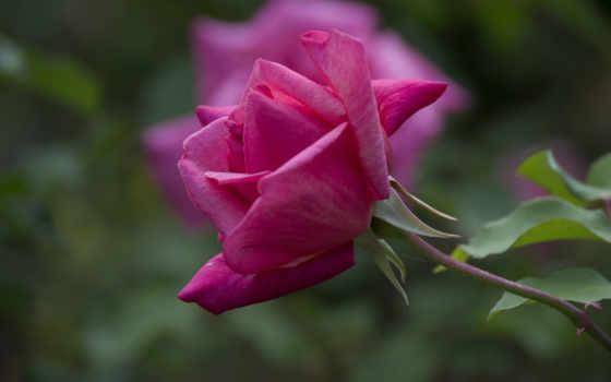 розы, цветы, нежность