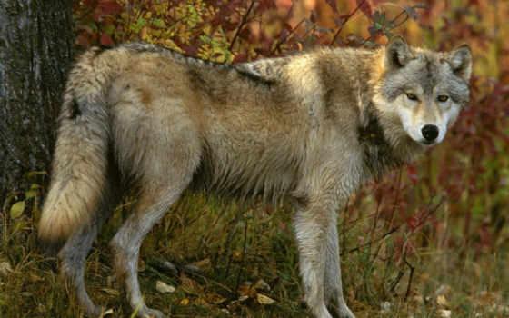 волк, лес, осень