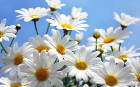 ромашки, cvety, fone, неба, небо,