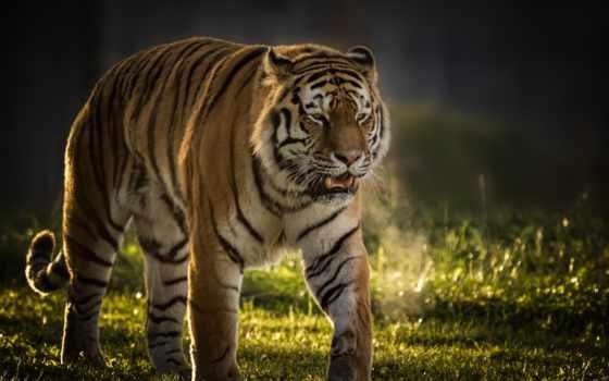 животные, zhivotnye, хищник, тигры, тигр, кошки, страница,