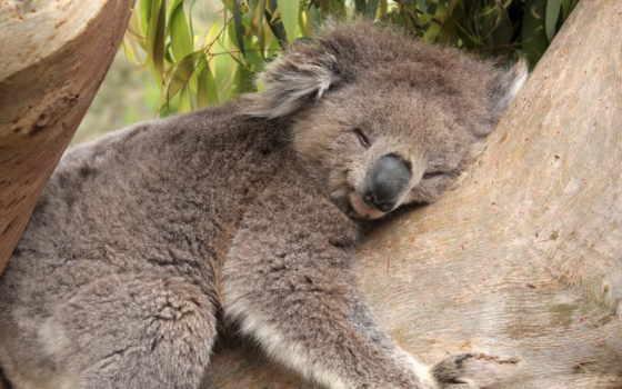 коала, коалы, спит, ученые, коал, обнимают, trees, яndex, how, новости, выяснили,