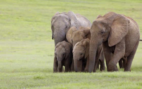 elefanti, ди, африка, слон, sfondi, famiglia, animali, desktop, scarica, iphone,