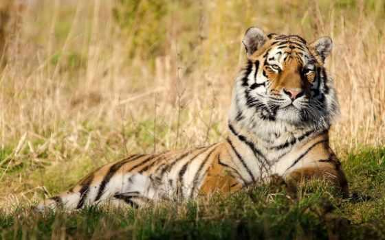 тигр, отдых Фон № 19416 разрешение 1920x1200
