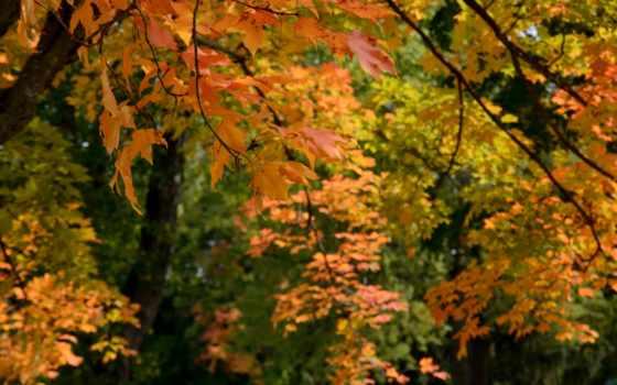 осень, лисьтя, trees