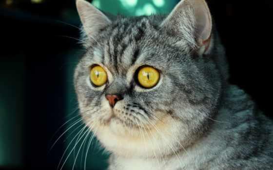 кот, британец, свет, морда, british, серый,
