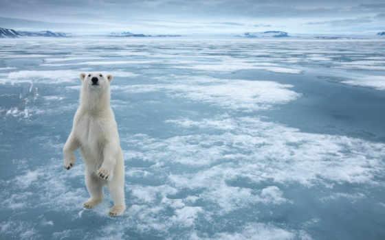 медведь, white, снег