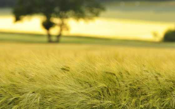 пшеница, поле, поля
