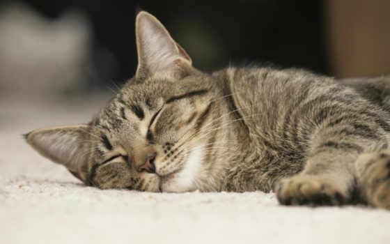 кот, серый, sleeping