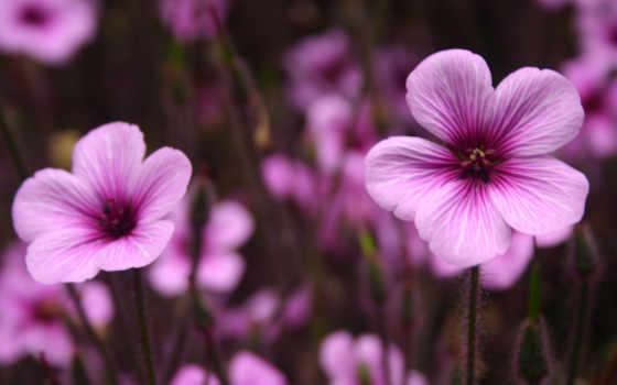 purple, flowers, цветы