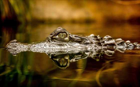 крокодил, water, крокодилы, морда, глаз, воде, zhivotnye, пруд, waters, выглядывает, пасть,