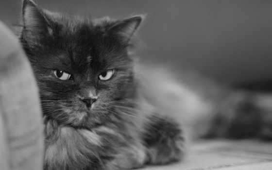 чёрно, белые, серый, кот, уже, лежит, кошки, разных, пушистый,