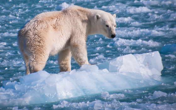 медведь, polar, rub, winter, снег, купить, льдина, ocean,