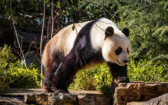 медведь, медведи, панда, images, free, панды, мокрая, бесплатные,