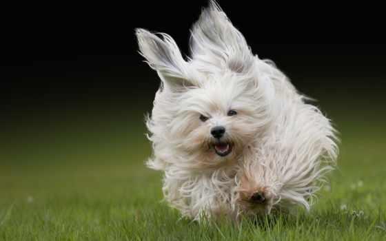 бишон, гаванский, собака