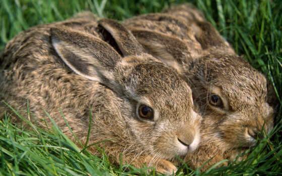 кролики, два